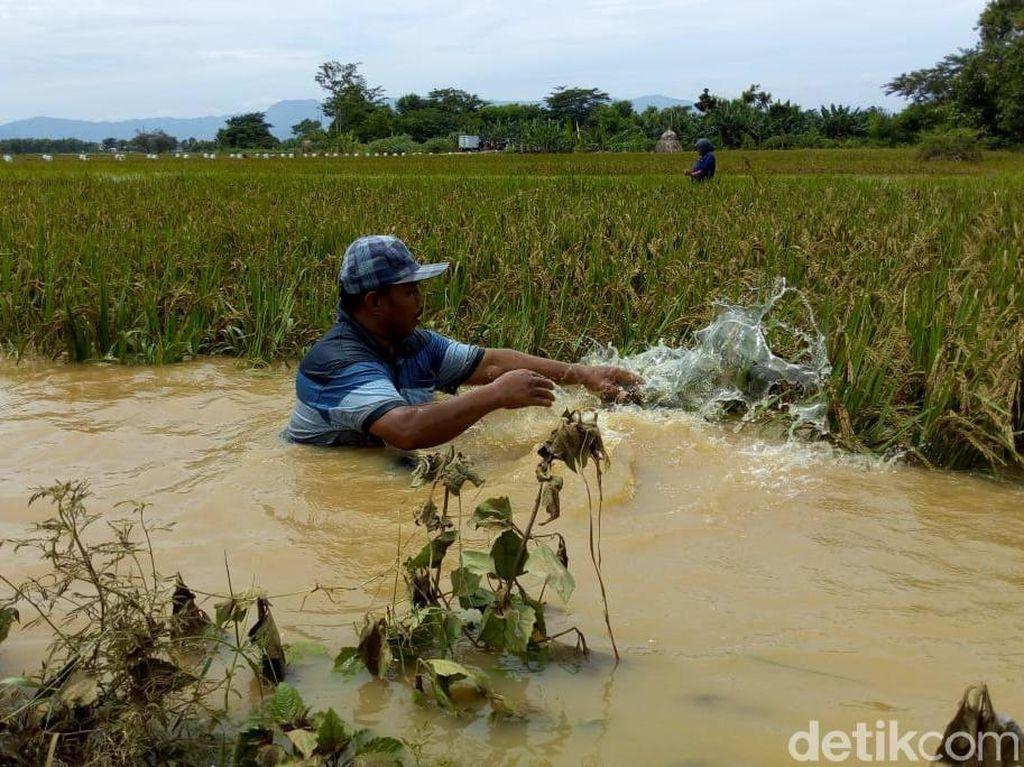 Puluhan Hektare Sawah di Ponorogo Kebanjiran, Kerugian Rp 100 Juta