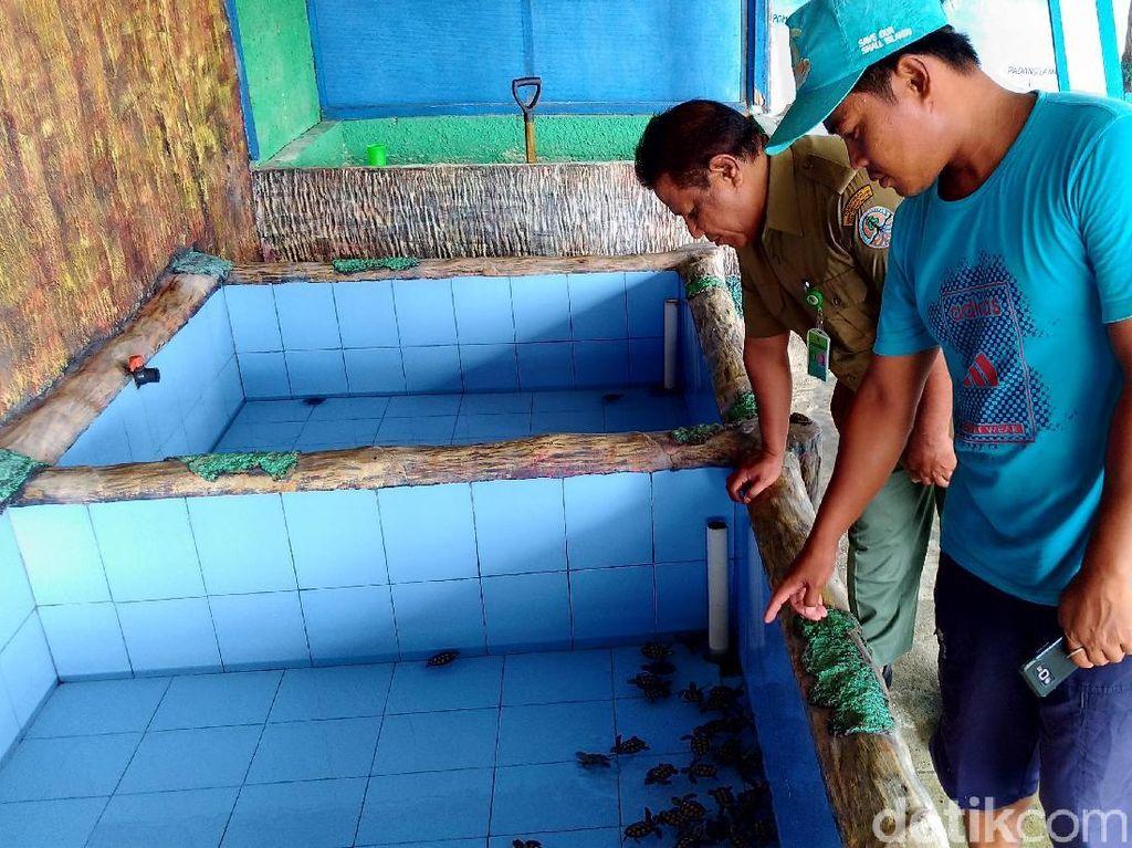 Pulau Harapan Selamatkan Penyu Sisik dari Kepunahan