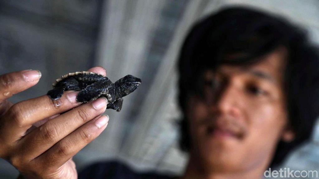 Melihat Penangkaran Penyu di Pulau Harapan