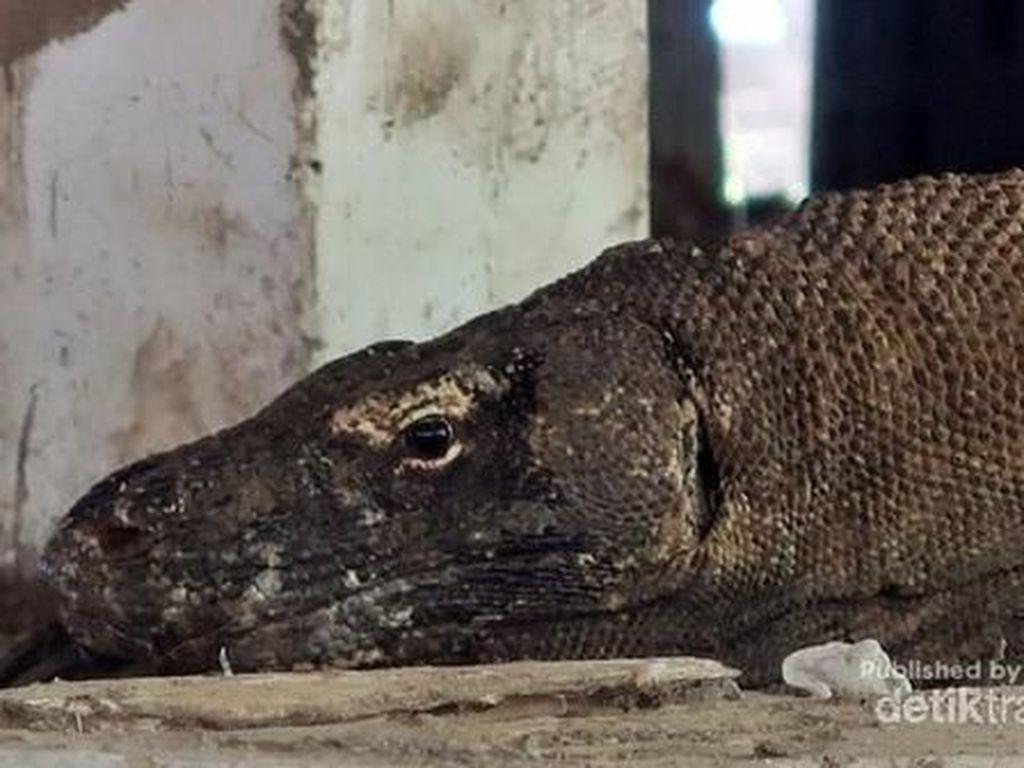 Begini Kondisi TN Komodo di Akhir Tahun Lalu