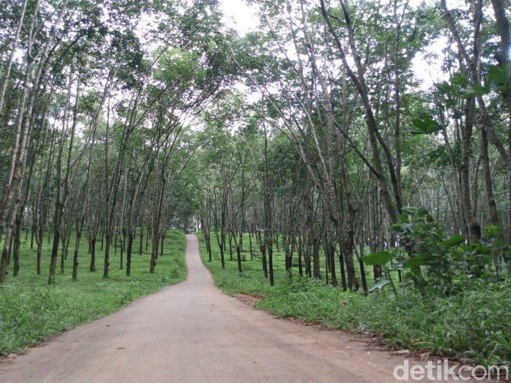 Foto: Hutan Karet Romantis di Semarang, Untuk Libur Akhir Pekan