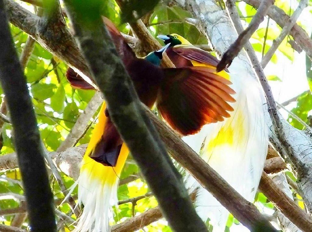Foto Langka Tarian Cendrawasih di Hutan Tambrauw