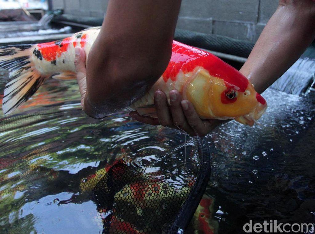 Melihat Pasar Ikan Hias Menteng