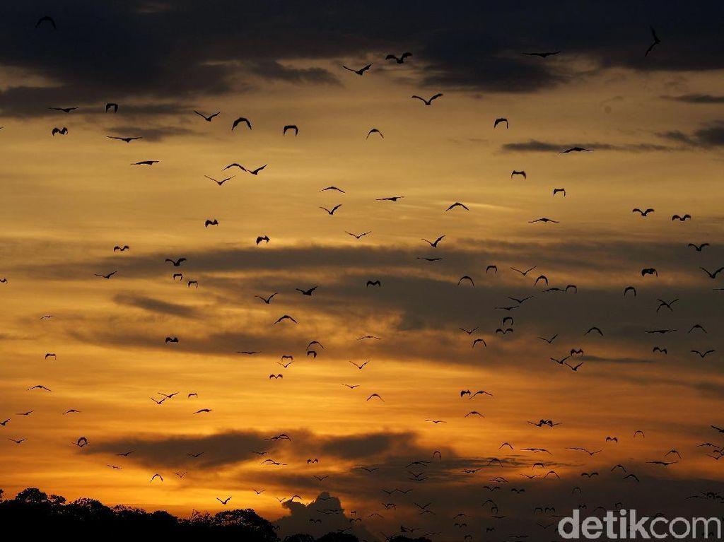 Aksi Jutaan Kelelawar Hibur Wisatawan di Pulau Kalong