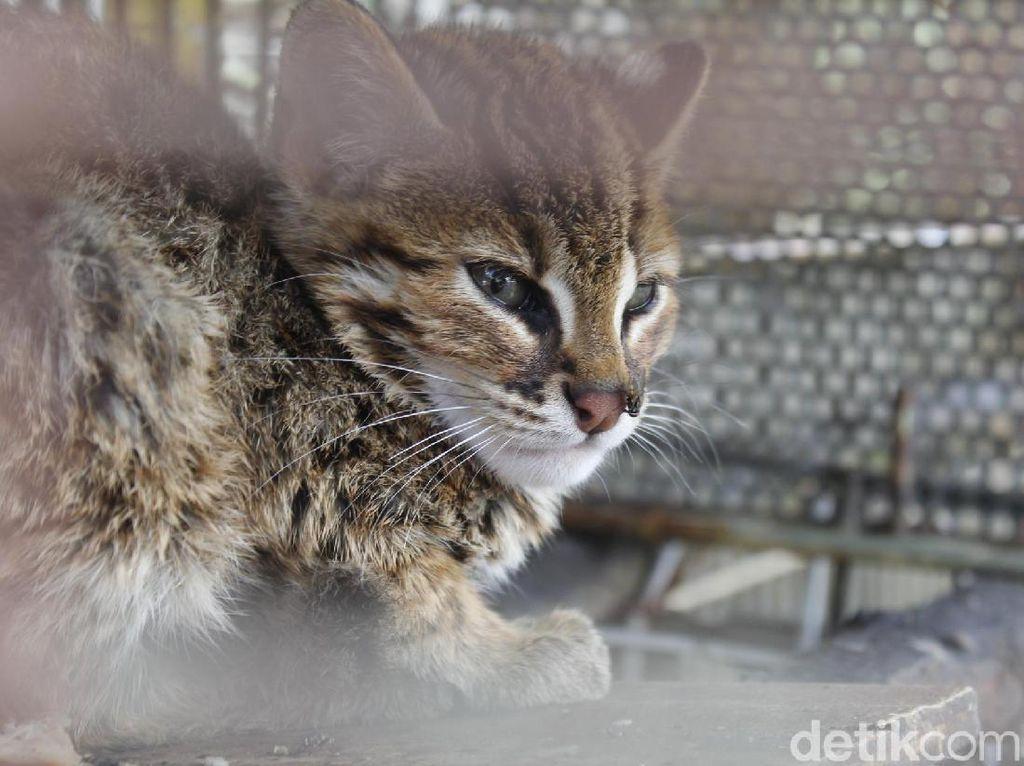 Disangka Macan Tutul, Kucing Hutan Ini Bikin Geger Warga Lembang