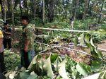 Cerita Warga Dengar Puluhan Pohon Milik Ponpes di Banyumas Ditebang OTK
