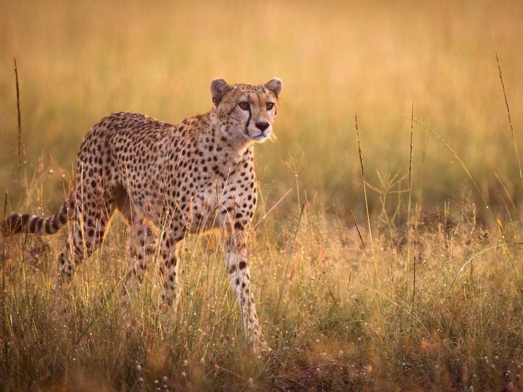 Liburan ke Afrika, Wanita Ini Dijilat Cheetah