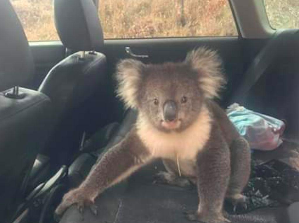 Gemas Banget! Seekor Koala Numpang Ngadem di Dalam Mobil