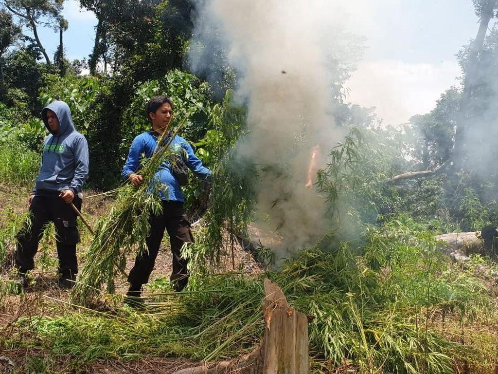 Polisi Bakar 6 Hektare Ladang Ganja di Pegunungan Bireun Aceh