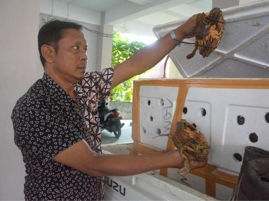Penyelundupan Ribuan Kepiting di Medan dan Balikpapan Digagalkan Petugas