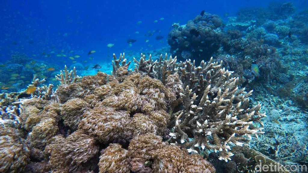 Pesona Alam Bawah Laut Pulau Sali Mutiara dari Timur Indonesia