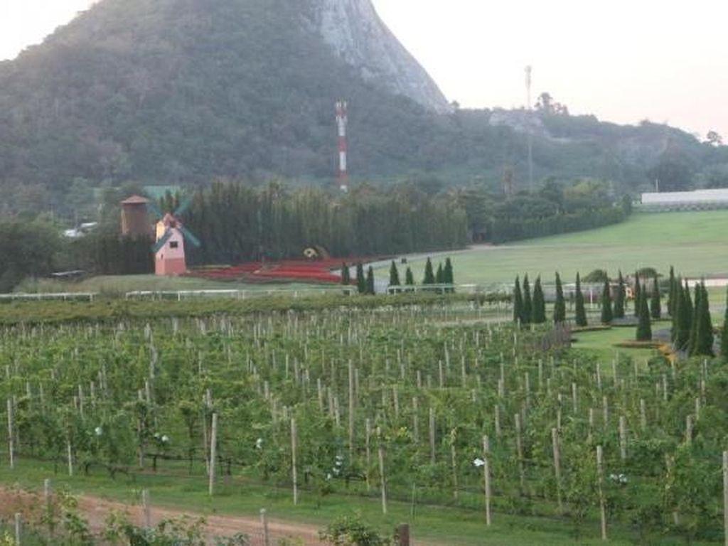 Kebun Anggur di Thailand Ini Mirip di Eropa