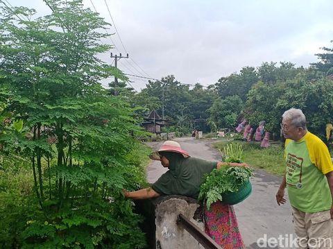 Suwito dan istri tengah memetik daun kelor/