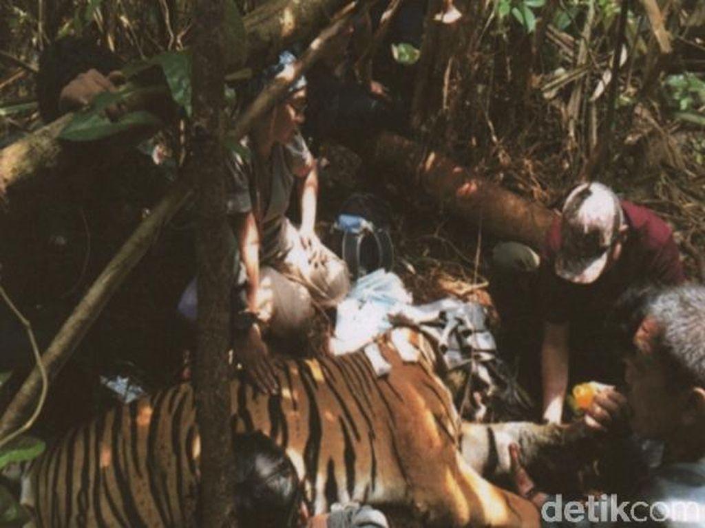 Harimau yang Kena Jerat di Riau Diberi Nama Inung Rio