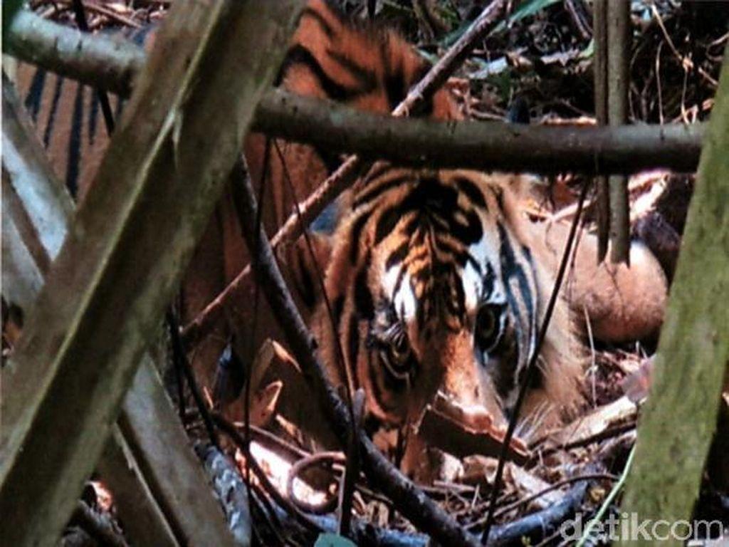 Cegah Perburuan Satwa Liar, Tim BBKSDA Bersihkan Jerat di Hutan Riau