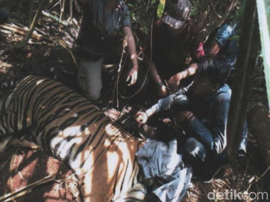 Harimau-Tim Patroli Terjerat Kawat, Perangkap di Hutan Pelalawan akan Disisir