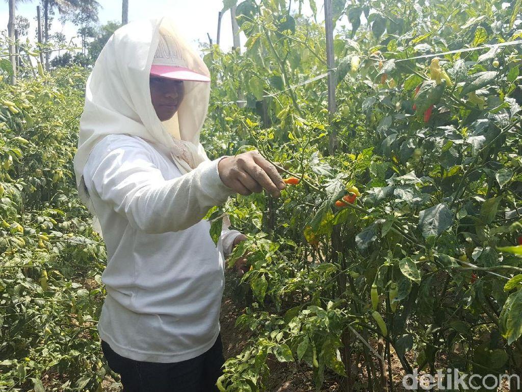 Virus Gemini Bikin Ratusan Hektare Lahan Cabai di Malang Gagal Panen
