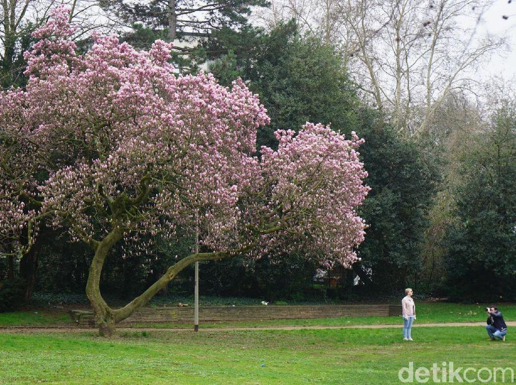 Foto: Saat Sakura Bermekaran di Jerman