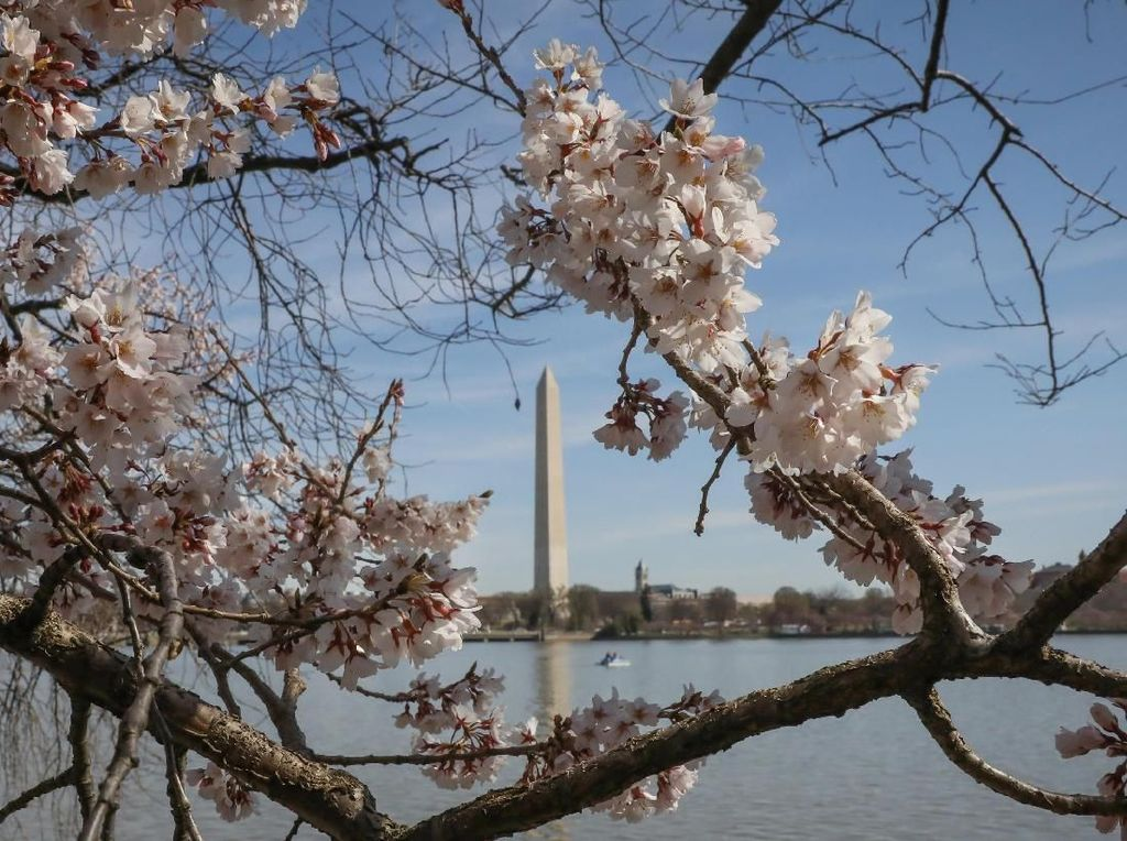 Tak Hanya di Jepang, Bunga Sakura Juga Bermekaran di AS