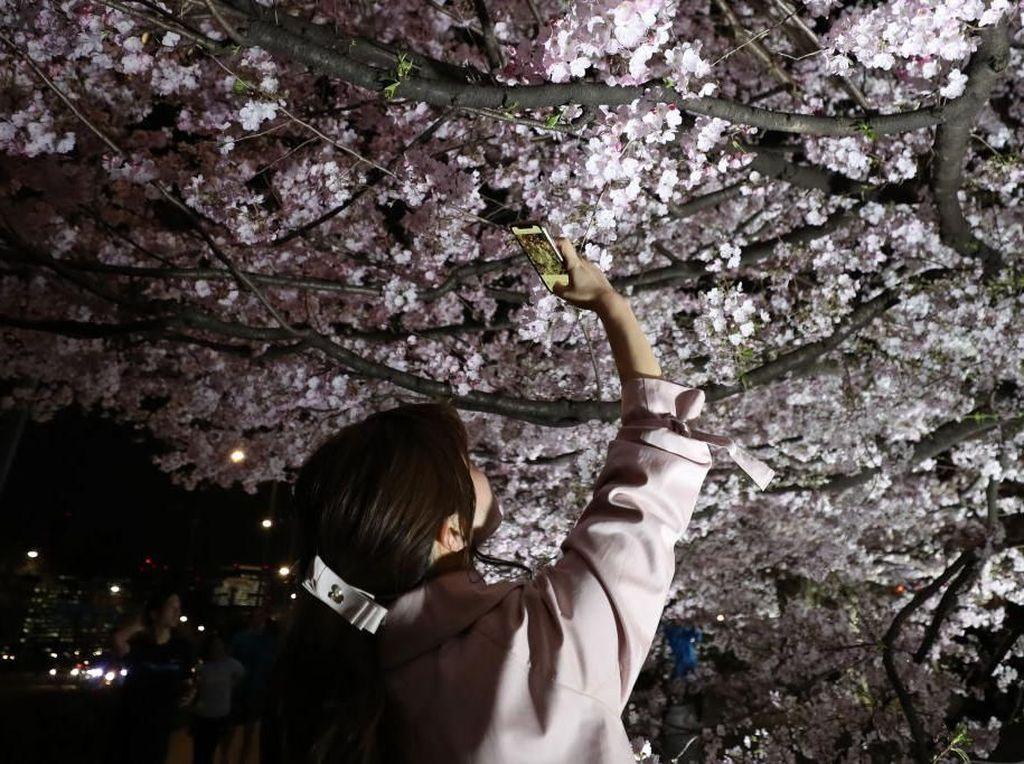 Tak Tahan Keluarkan Ponsel untuk Foto Bunga Sakura Bermekaran