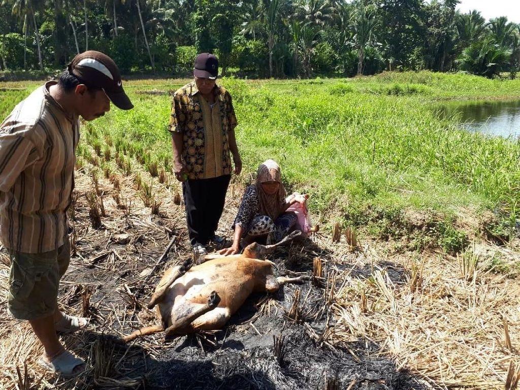 Warga Sulbar Kejar Kawanan Anjing yang Mangsa Ternak Sapi