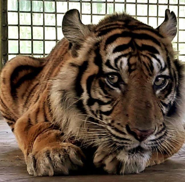 Berita Harimau Bonita Akan Dilepasliarkan di Riau Sabtu 24 Agustus 2019