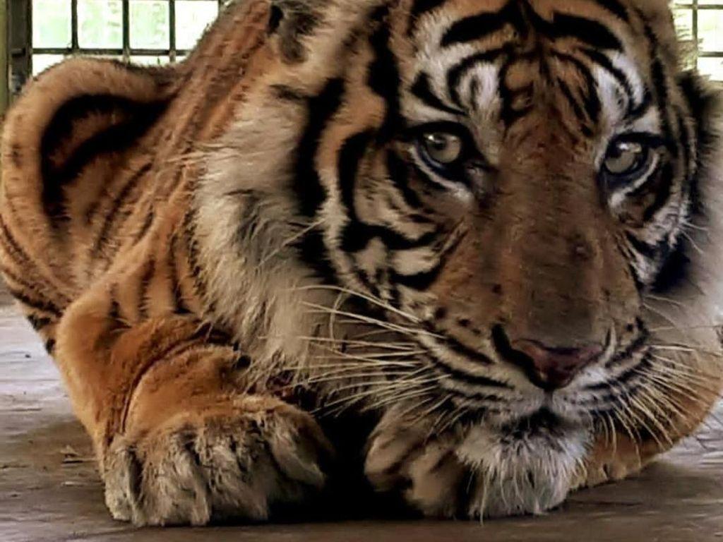 Perjalanan Panjang Harimau Bonita Hingga Balik ke Rimba
