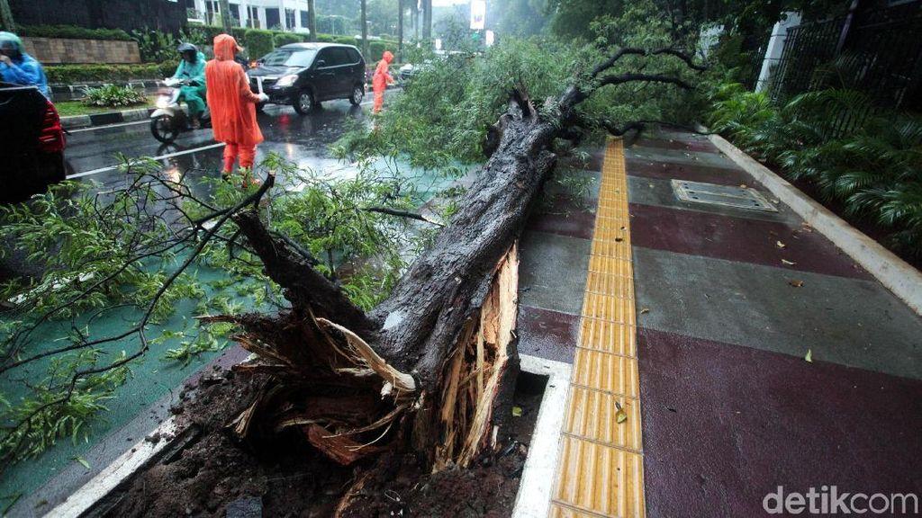 Diterpa Hujan Angin, Sebuah Pohon di Senayan Tumbang