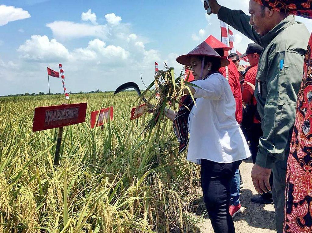 Megawati Panen Raya di Indramayu