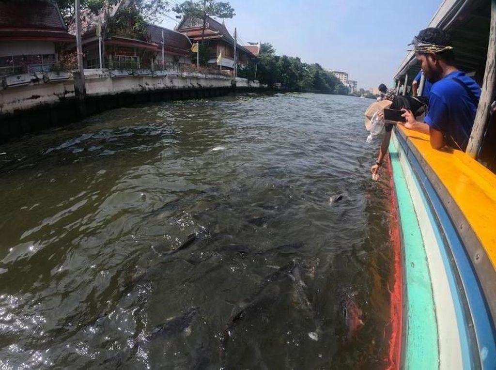 Serunya Memberi Makan Ikan Patin di Sungai Thailand