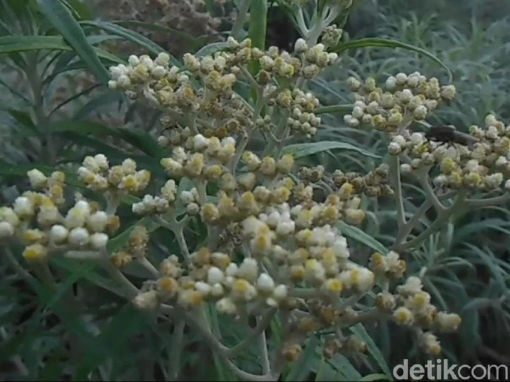 9 Fakta Edelweis, Bunga Abadi di Gunung yang Tak Boleh Dipetik