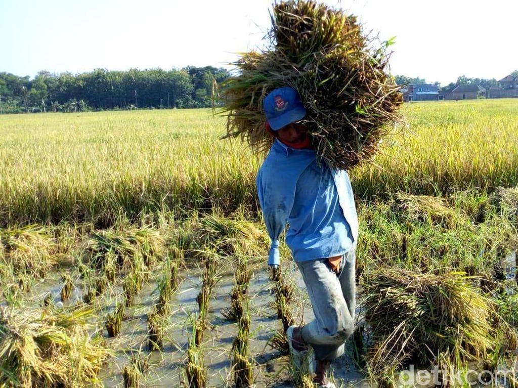 Upah Buruh Tani Naik Tipis ke Rp 55.046 per Hari