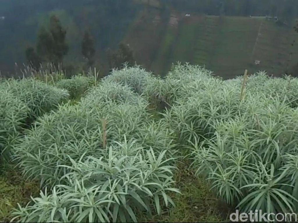 Budidaya Edelweis Pertama di Indonesia Ada di Bromo