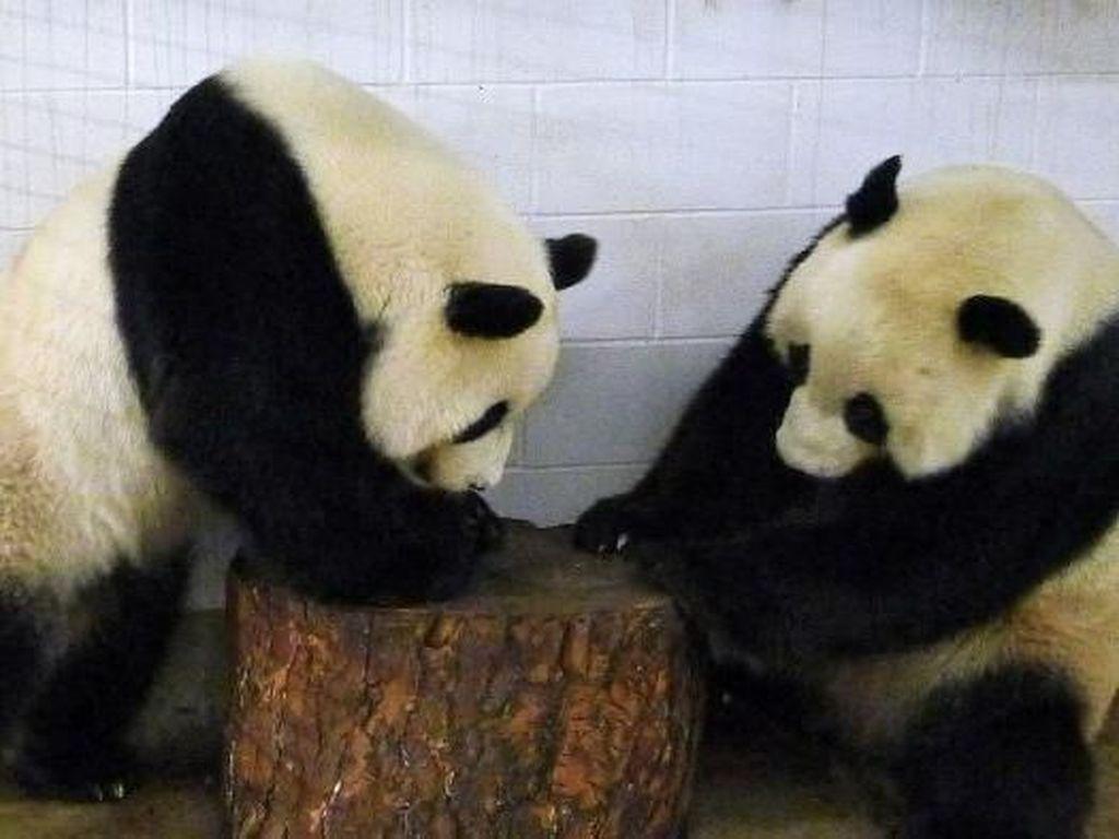 Australia Pertahankan Panda Wang Wang dan Fu Ni