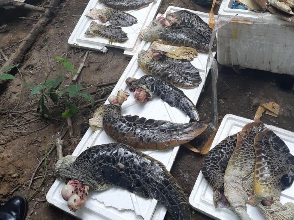 8 Boks Daging Penyu Ilegal Asal NTT Dimusnahkan