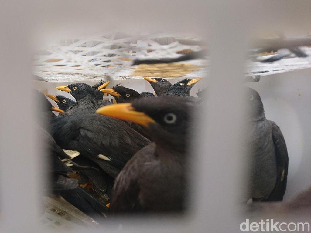 Polisi Gagalkan Penyelundupan 1.000 Burung Langka di Merak