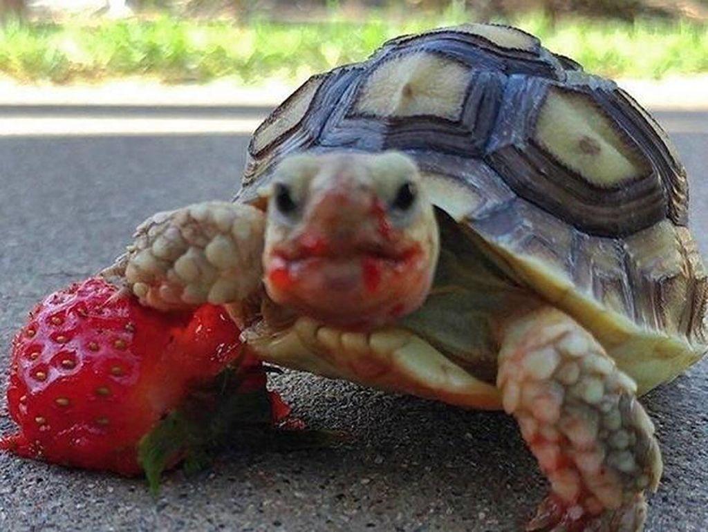 Tampilan 10 Hewan Saat Makan Buah Strawberry Ini Bikin Seram dan Gemas