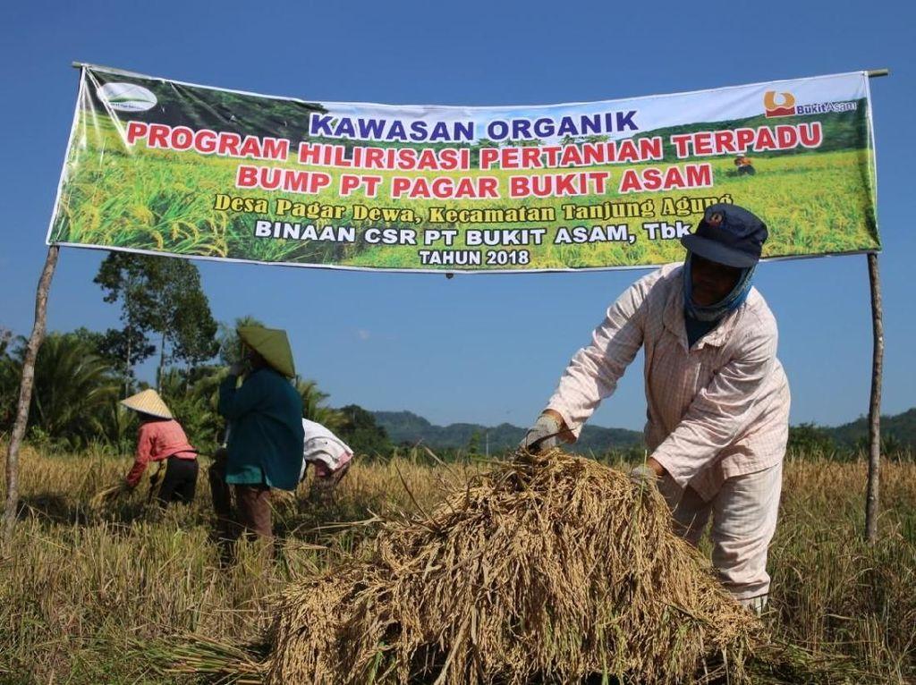 Bukit Asam Bantu Petani Desa Pagar Dewa Kembangkan Beras Organik