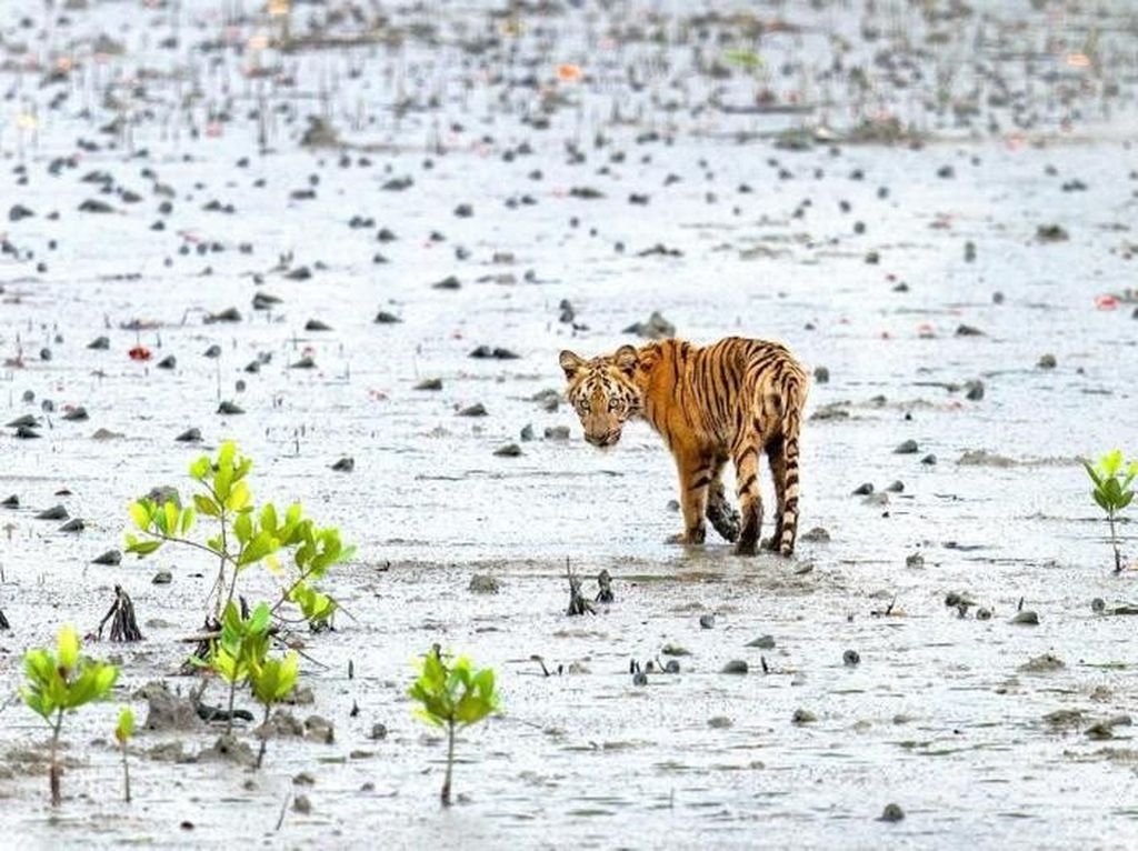 Kisah Muslim dan Hindu Bersatu Lawan Harimau Suruhan Setan