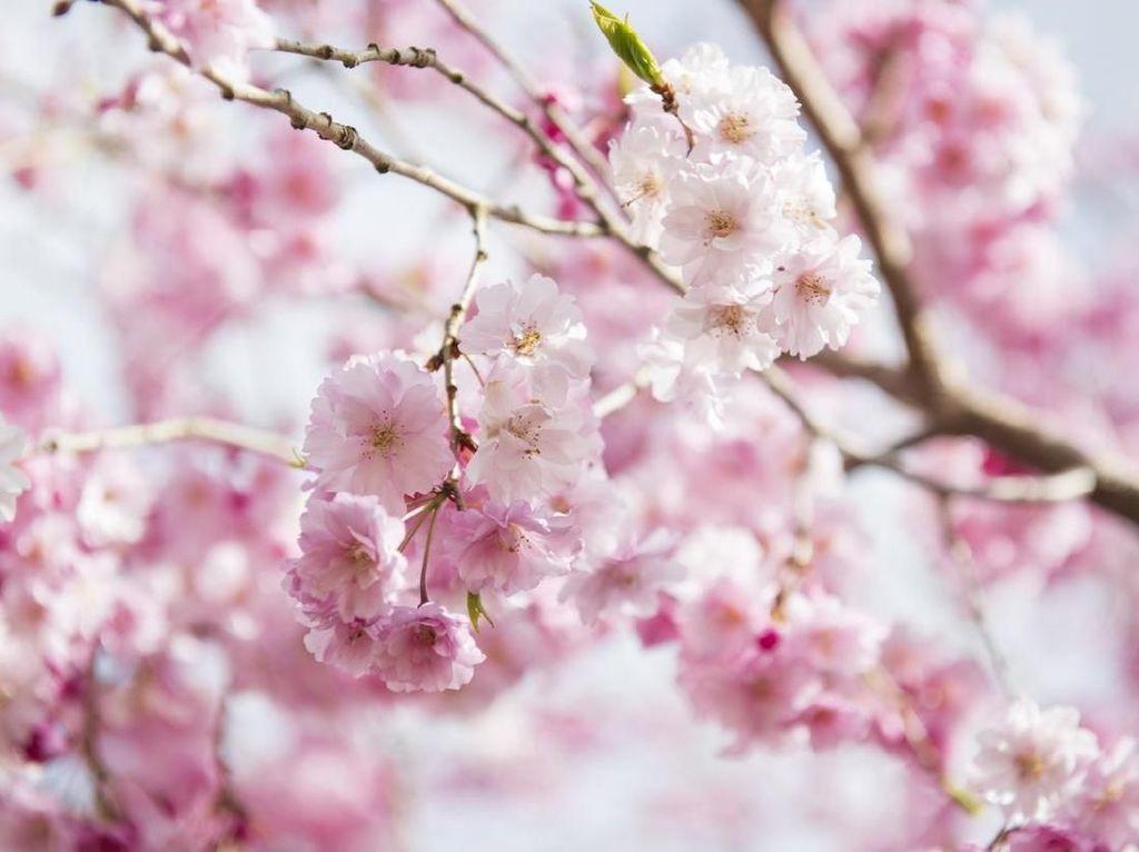 Sisi Kelam Bunga Sakura Jepang