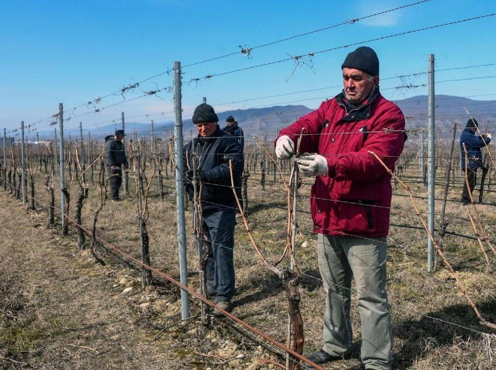 Peneliti Mau Tanam Anggur di Mars untuk Bikin Wine