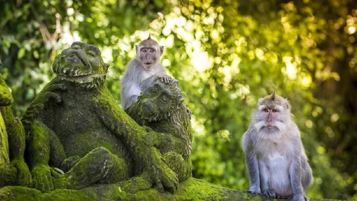 Monyet, salah satu binatang yang membawa virus cacar kera atau monkeypox. Foto: Ilustrasi kera di Ubud (iStock)