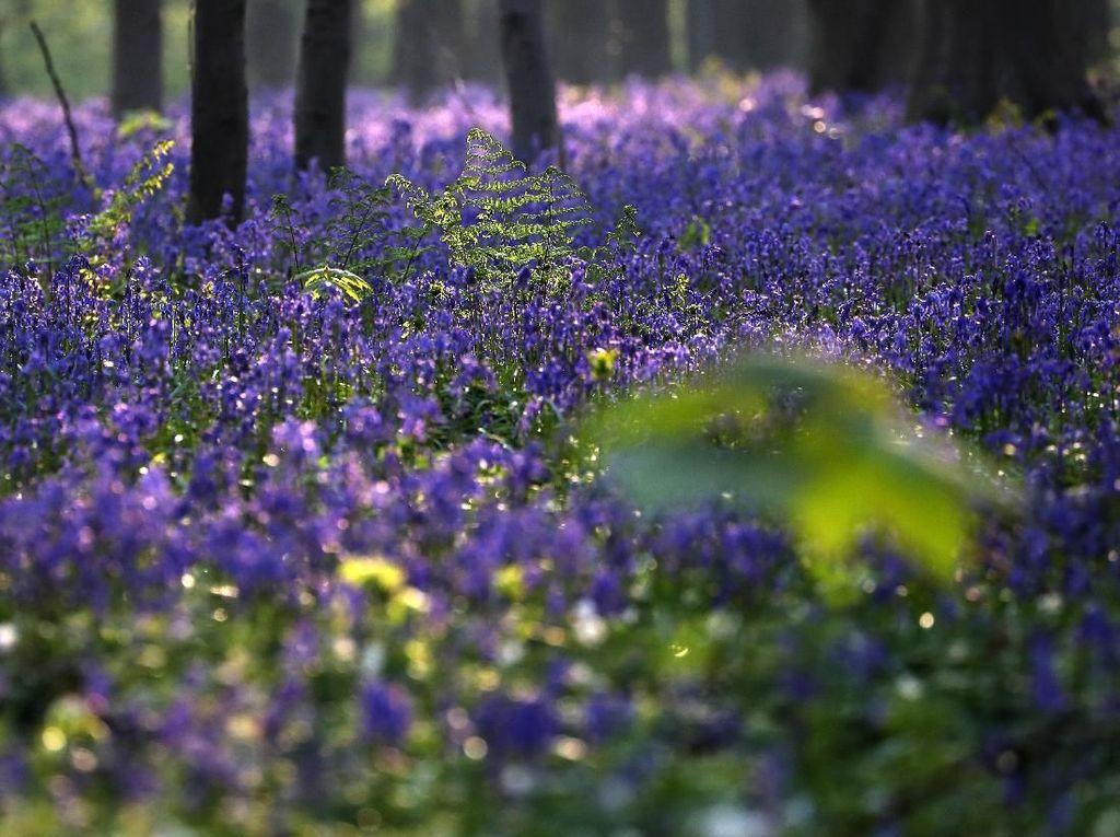 Indahnya Fenomena Hutan Biru di Belgia