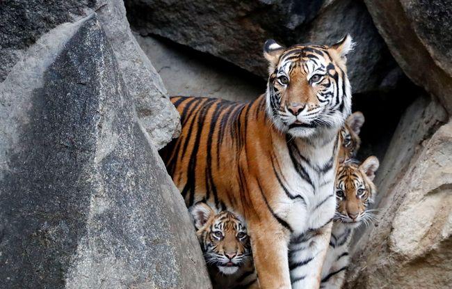 Berita Penjaga Kebun Binatang di Kansas AS Luka Diserang Harimau Sumatera Senin 22 Juli 2019