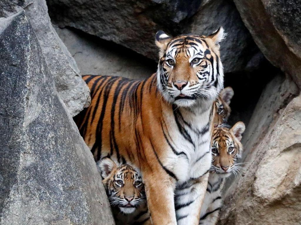 Harimau Tewaskan Pekerja HTI di Riau Tak Dievakuasi, BBKSDA: Itu Habitatnya