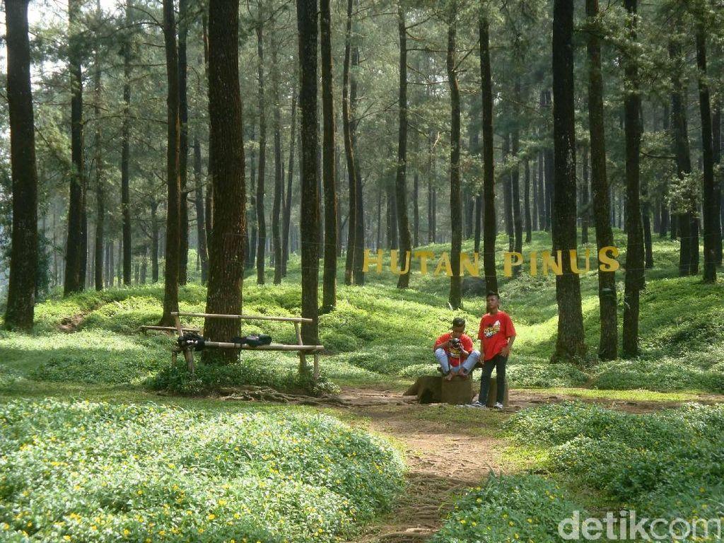 Foto: Hutan Pinus Instagramable di Banyumas