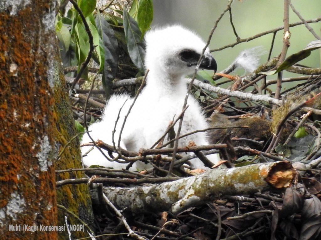 Ranger Gunung Gede Pangrango Temukan Anak Burung Garuda