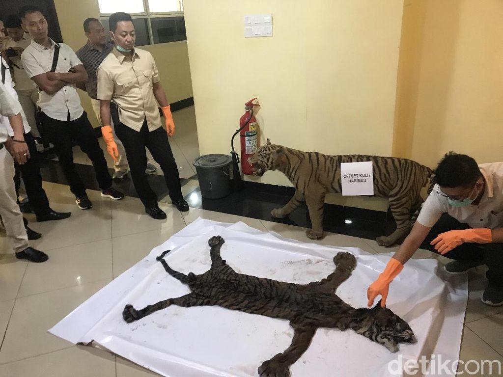 Polisi Bongkar Perdagangan Kulit Harimau di Sumbar