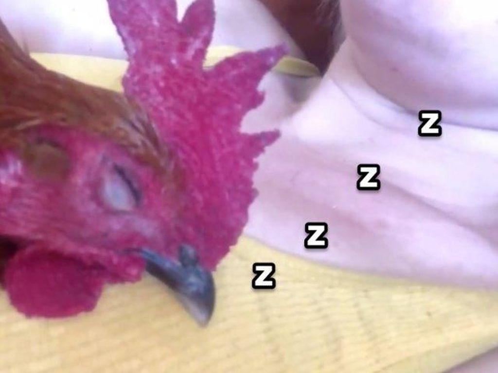 Kocak! Ayam Jago Ini Viral Karena Ngorok Saat Tidur