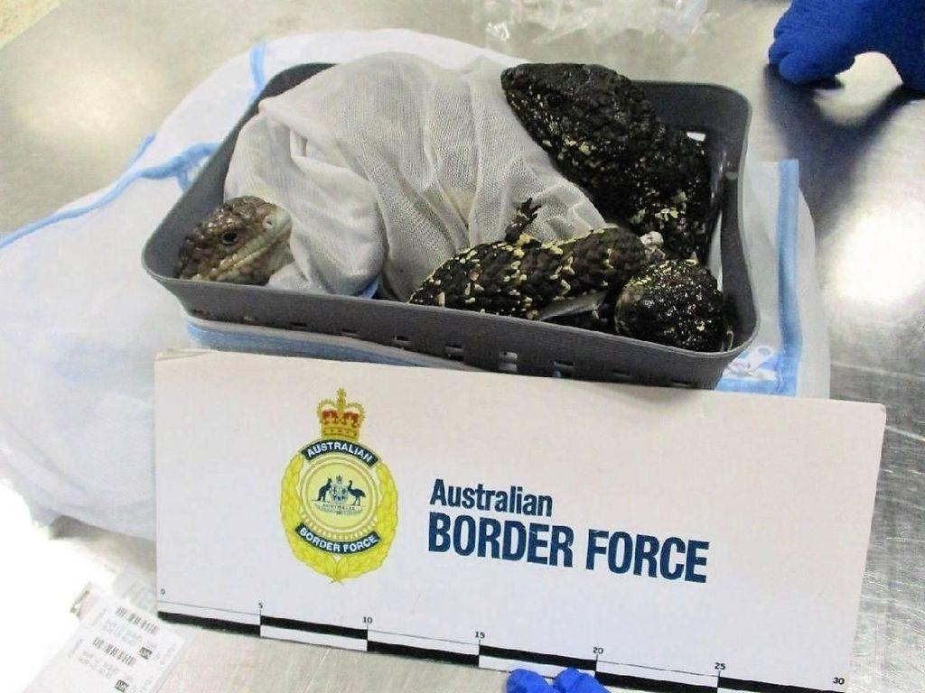 Kena Tangkap! Penumpang Pesawat Selundupkan 19 Kadal di Koper